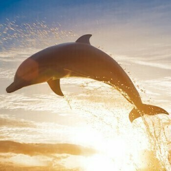 Dolphin Diving